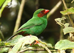 Grass-green Tanager (Michael Woodruff) Tags: red brown green bird birds ecuador birding cloudforest choco tanager subtropics grassgreen specanimal animalkingdomelite colorphotoaward avianexcellence nwecuador oldnonomindord nonomindo nonomindord grassgreentanager chlorornis chlorornisriefferii