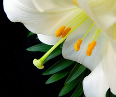 White Lily (ladyloneranger) Tags: white flower spring bravo lily searchthebest excellence naturesfinest liliumlongiflorum supershot magicdonkey i500 explorefrontpage ladyloneranger abigfave flickrplatinum irresistiblebeauty goldenphotographer flickrdiamond frhwofavs ultrashot ultrashotultraaward interestingness912april07