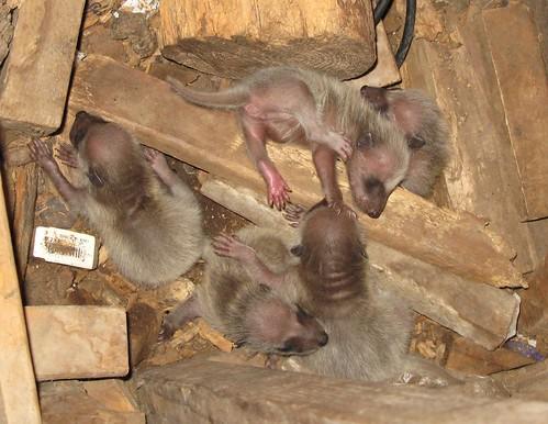 Newborn Raccoon Babies Baaaaabyanimals