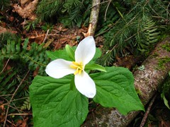 Trillium along the trail