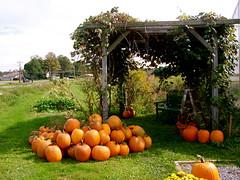 Pumpkins at Concord