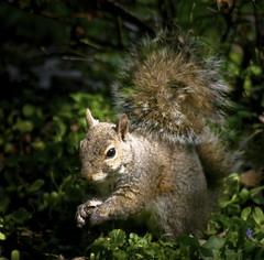 Time For Breakfast (mightyquinninwky) Tags: squirrel 5 kentucky urbanwildlife lexingtonky frontyard naturesfinest fontaineroad chevychasearea wowiekazowie