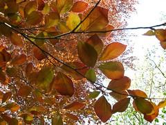 cedar leaves - by molamoni