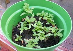 Mini Tomato Grow Kit