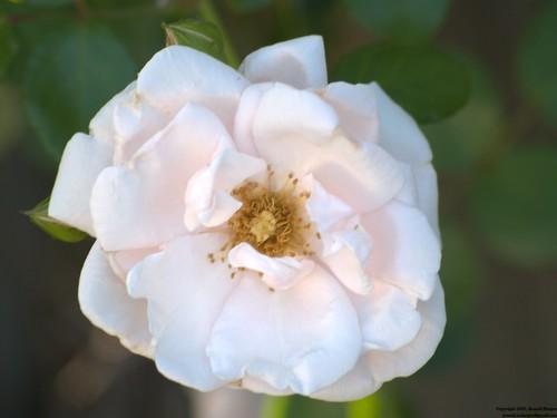 Dawn, in full bloom