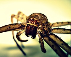 They Call Me The Huntsman (Mark Gellineau) Tags: hairy animal spider scary arachnid boo fangs picnik eightlegs creepycrawly crossprocessedspecial