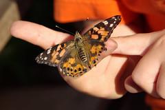 IMGP2520 (emelia's pics) Tags: butterfly butterflies paintedlady