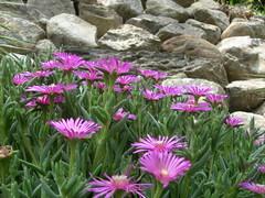 DSCN3110.JPG (mondora) Tags: fiori sassi primopiano 2007 mazzuna 2007nuoveapimazzuna