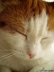 Sleepy Snoozy (aksie01) Tags: red pet white animal closeup cat nose paw close sleep slaap rood wit poes poot slapen dichtbij snoozy