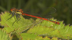 "Large Red Damselfly (pyrrhosoma nymp(16) • <a style=""font-size:0.8em;"" href=""http://www.flickr.com/photos/57024565@N00/486948396/"" target=""_blank"">View on Flickr</a>"