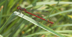 """Large Red Damselfly (pyrrhosoma nymp(14) • <a style=""""font-size:0.8em;"""" href=""""http://www.flickr.com/photos/57024565@N00/486980287/"""" target=""""_blank"""">View on Flickr</a>"""