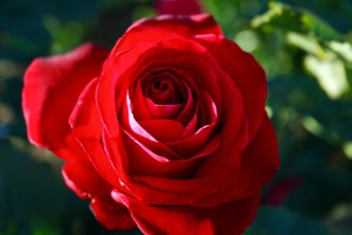 Quintessential red rose