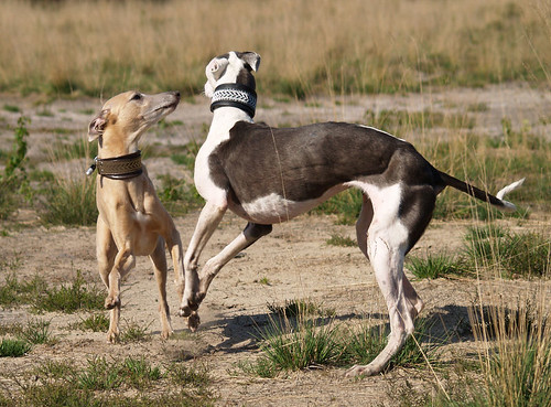 WY meets WiN: Whippet and Galgo