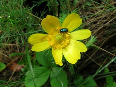 Adonis vernalis-Tavaszi hrics (elisabatiz) Tags: flower colour nature yellow protectedplant