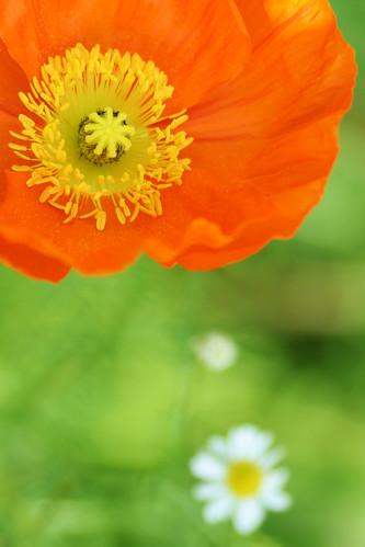 iceland poppy #5