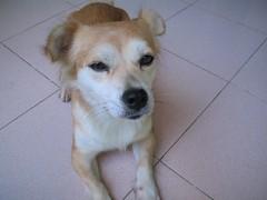 IMG_0957 (danghai2k) Tags: si mydoggy mydog