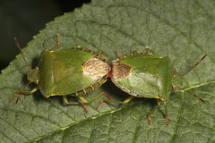 "Mating Green Shield Bugs (Palomena prasina) • <a style=""font-size:0.8em;"" href=""http://www.flickr.com/photos/57024565@N00/500697068/"" target=""_blank"">View on Flickr</a>"