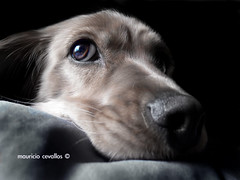 MEL PORTRAIT WATCHING TV (mauricio cevallos www.mauriciocevallos.com) Tags: dog cute eye sad watching can mel perro fz30 peopleschoice p1f1 impressedbeauty superaplus aplusphoto