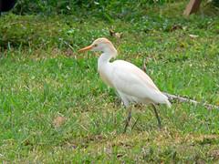 usa bird heron fz20 florida creativecommons egret floridakeys 2007 cattleegret bubulcusibis photobystignygaard