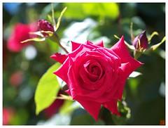 Rose 070520 #03