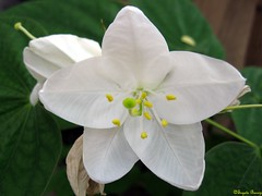 Kanchan (Bauhinia Acuminata) (Joy Forever V1.0) Tags: india white flower bengal bauhinia kanchan bauhiniaacuminata flowersbeauty dwarfwhite