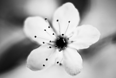 b&w (manganite) Tags: trees bw plants white black macro nature leaves closeup digital germany cherry geotagged spring nikon europe soft bonn dof seasons bokeh tl branches blossoms  cherryblossom sakura d200 nikkor dslr 50mmf18 march30 sakuranohana naturesfinest northrhinewestphalia closeuplense monochromia utatafeature manganite nikonstunninggallery date:year=2007 march302007 geo:lat=50731849 geo:lon=7090395 closeuplenseno3 date:month=march