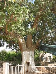 Zacchaeus Sycamore Tree in Jericho_1517