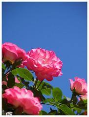Rose 070520 #24