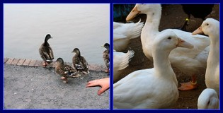 Ducks with a disembodied hand