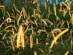 Sun Weed (Daniel Pascoal) Tags: sun sol nature public yellow gold golden weed natureza dourado mato ouro amerelo danielpg