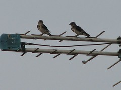 Some of Kathi's purple martins