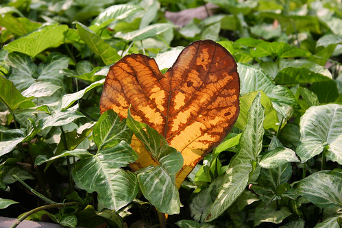 A leaf in the shape of heart