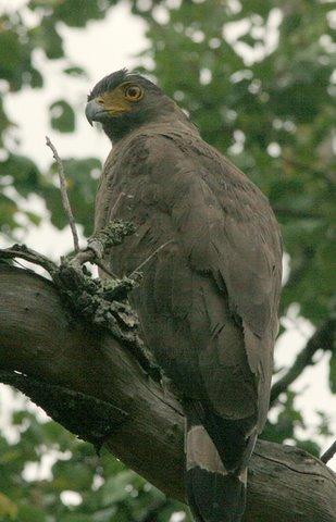 Crested Serpent Eagle side pose