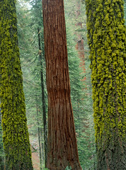 Green Red Green (Andrew Luyten) Tags: california usa tree forest redwood sequoia sequoianationalpark