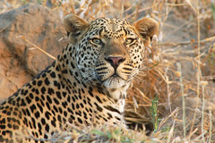 Bicycle Crossing Male Leopard (Lyndon Firman) Tags: africa animal cat southafrica feline safari leopard malamala flickrsbest specanimal bfgreatesthits