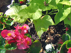 Sweet Fibrous Begonia and Potato Vine