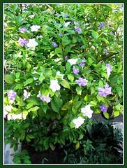 A lovely bush of Brunfelsia calycina (Yesterday-today-tomorrow)