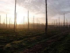 A Winters morning in Kent. Walking through the Kentish hop gardens early on a misty, frosty morning. (favmark1) Tags: winter kent faversham hop hopgarden frost mist