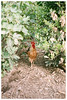 Cock (Patrick J. Negwer) Tags: chicken ecuador green dirt earth tierra verde gallinas gallo plantas higo figs plants fig sprouts calendula banana radish bumblebee alfa kitchen