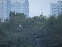 IMG_3024 (mohandep) Tags: birding lake bangalore madivala karnataka nature wildlife t