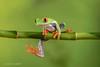 Just hangin' around! (Explore 10/12) (Linda Martin Photography) Tags: agalychniscallidryas dorset frog redeyedtreefrog wildlife frogworkshop uk nature coth ngc spiritofphotography npc naturethroughthelens
