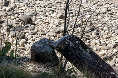 Log gnawed by beaver (sandy bohlken) Tags: 2016 colterbay day6 grandtetonnationalpark jacksonhole nationalpark september tetons wyoming hike vacation