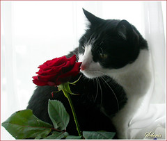 Teco e a Rosa . Teco and the Rose (selenis) Tags: pet flower animal rose cat wow feline chat flor rosa gato felino teco blueribbonwinner cc400 cc300 kissablekat impressedbeauty superbmasterpiece infinestyle diamondclassphotographer flickrdiamond petscommunity gggflower