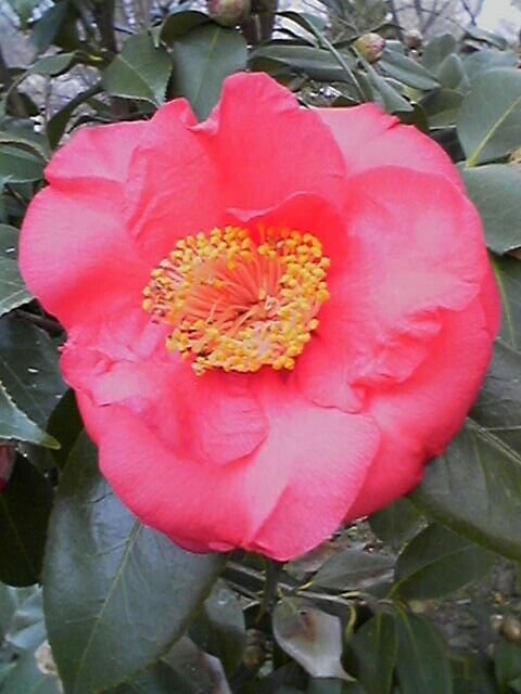 The First Camellia of 2007
