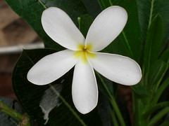 Beautiful White Flower (Frangipani) in our Building (Swami Stream) Tags: flowers india flower window temple plumeria pigeons bombay winner maharashtra fabulous mumbai coolest swami plumera swaminathan flowerscolors westernindia masterphotos favphotographer swamistream pumera swamistreamcom