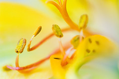 yellow! (Samuel K) Tags: orange flower macro yellow catchycolors dof bokeh 100f28 anawesomeshot minolta10028macro