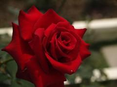 送你一朵紅玫瑰