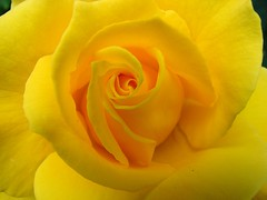 yellow rose (Brian A Petersen) Tags: roses flower macro nature beauty rose yellow soft god brian petal creation bp delicate petersen abigfave impressedbeauty bpbp superbmasterpiece beyondexcellence diamondclassphotographer flickrdiamond brianpetersen brianapetersen