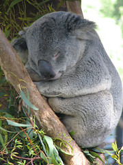 Koala at San Diego Zoo (akahodag) Tags: bear teddy koala sandiegozoo animalplanet breathtaking aplusphoto