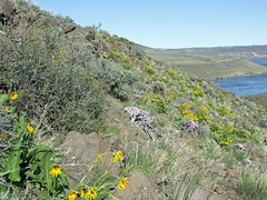 Climbing up through the desert wildflowers after fording the N and S forks of Tarpiscan Creek